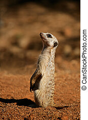 Alert meerkat Suricata suricatta sitting upright in...