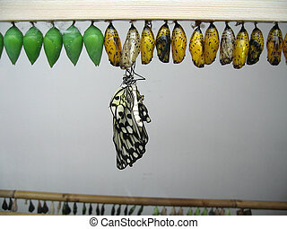 rice paper butterfly - and chrysalis