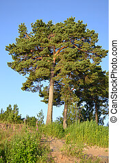 Pinewood - Summer in pinewood with blue sky, Russia