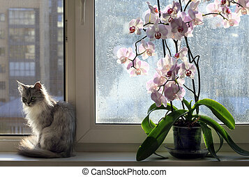 cat and an orchid - Sad cat on a window sill and an orchid
