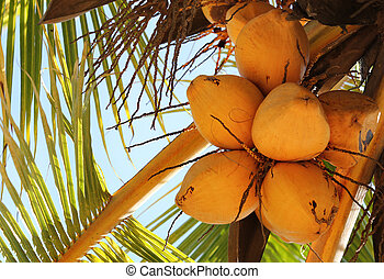 Vivid yellow exotic coconuts bunch on a tropical palm tree on a bright day with sky in the background