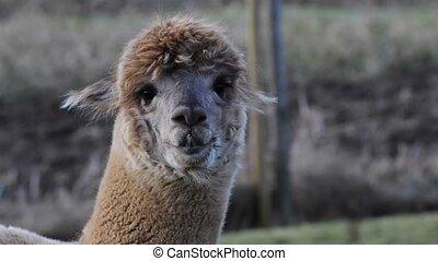 Alpaca - Closeup of a brown alpaca looking into the camera