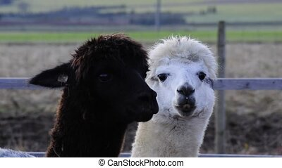 Alpacas, black and white male animals