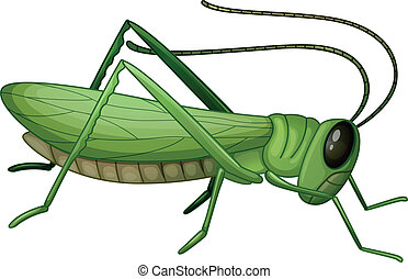A grasshopper - Illustration of a grasshopper on a white...