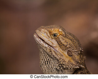 Close-up of Bearded dragons eye (Pogona vitticeps)