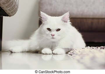 white cat staring on the camera - it can be used in pet...