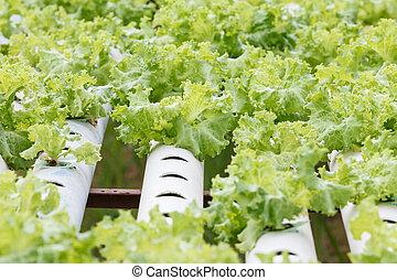 hydroponic, légume, planté, jardin