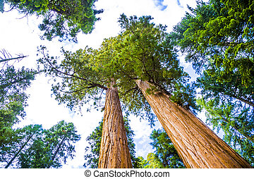 Sequoia national Park with old huge Sequoia trees like...