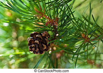 Pine tree with brown cone. - Pine tree with brown cone on a...