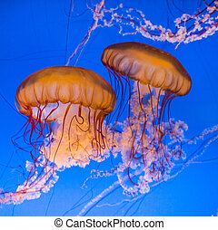 beautiful jelly fishes in blue sea
