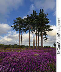 Summer Heather and Pine Trees - Scots Pine trees and bell...