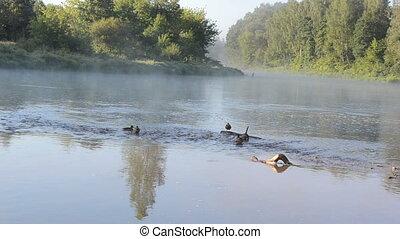 duck fog river water - duck swim in misty fogy flowing river...