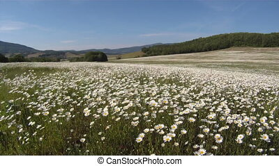 Beautiful Alpine pastures covered with blooming daisies