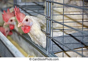 leghorn chickens  - Leghorn chicken in cages