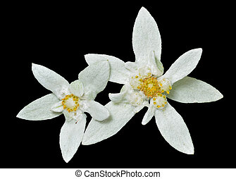 Edelweiss 7 - A close up of the two flowers edelweiss...