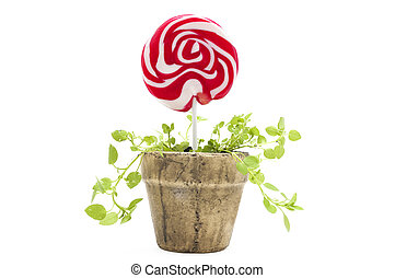 Potted lollipop isolated on white background
