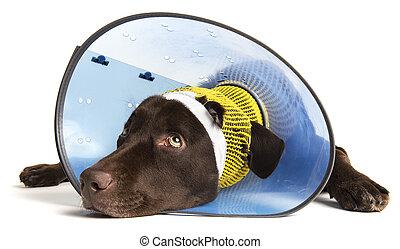 Injured Dog  - Sick dog with ear injury on white background