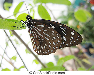paper kite butterfly - or rice paper butterfly