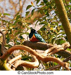 Montserrat oriole - national bird of Montserrat, ciritically...