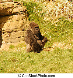 gorilla - seated