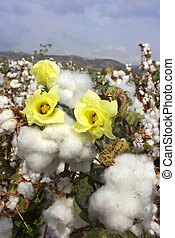 harvest of cotton - flowering and ripe for harvesting cotton