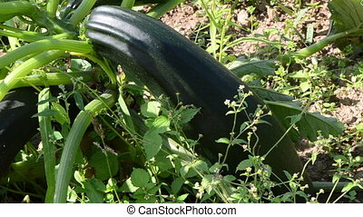courgette zucchini grow