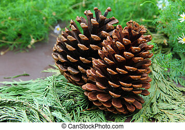 Conifer cones on leaves - Close up of conifer cones on...