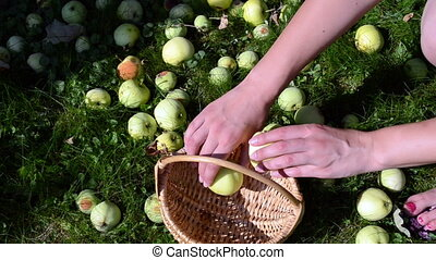 woman collect apple fruit - woman hand collect fall ripe...