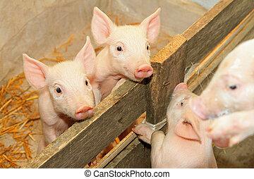Piglets in pen - Flap eared loppy piglets in pen at farm