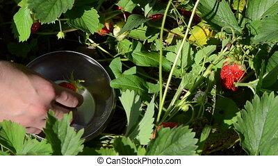 hand pick strawberry dish - female woman gather pick up ripe...