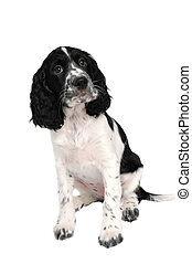 english springer spaniel puppy isolated on white