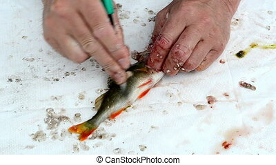 fisherman clean fish - fisherman hand with knife clean bass...