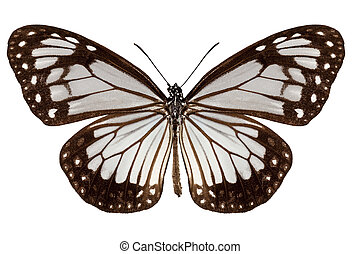 Butterfly species Parantica vitrina in high definition with...