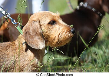 Brown dachshund dog portrait in the park - Brown dachshund...