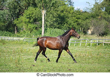 Brown horse trotting at the pasture along the farm fence