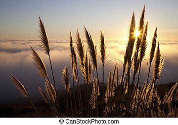 Pampas grass Cortaderia selloana along the Northern...