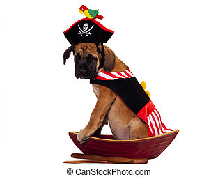 Pirate dog - English Mastiff puppy dressed up for Halloween...
