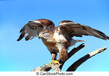 Ferruginous Hawk about to take flight