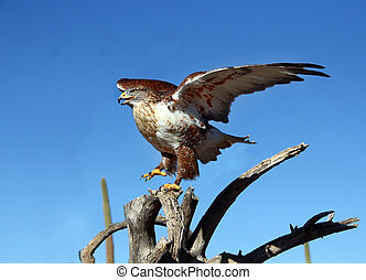Ferruginous Hawk with wings spread