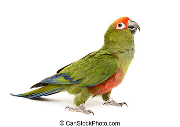 Paradise Gold Capped Conure, Aratinga Auricapilla, isolated...