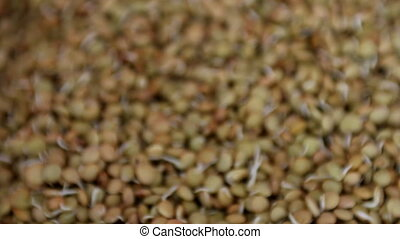 Lentil sprouts - Hydroponically grown lentil sprouts for...