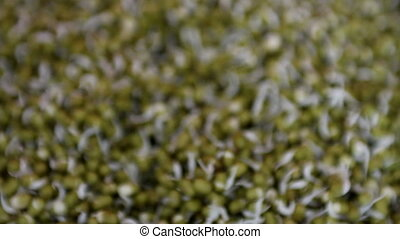 Mung bean sprouts - Hydroponically grown mung bean sprouts...