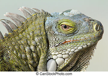 Closeup of Greeen Iguana - Closeup of the Head of a Green...