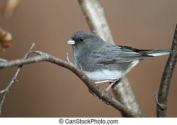 Dark-eyed Junco or Slate-colored Junco (Junco hyemalis) -...