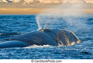 Right whale. - Right whale in Puerto Piramides, Peninsula...