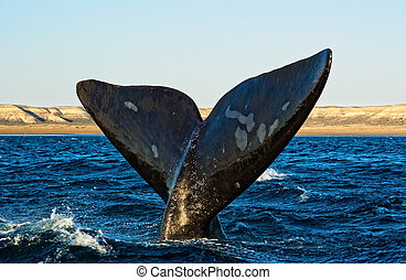 Right whale in Patagonia - Right whale in Puerto Piramides,...