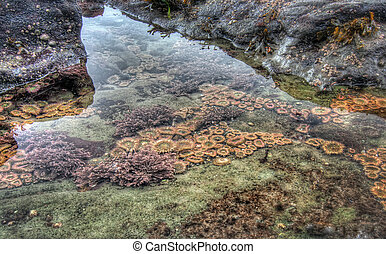 Clear tidal pool with sea life - Sea life in a clear tidal...