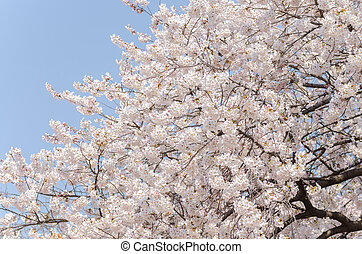 Cherry Blossom - Japanese cherry blossoms in full bloom