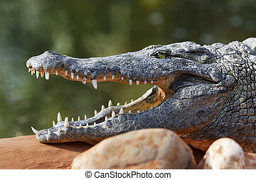open big mouth - crocodile resting on a rock with open big...