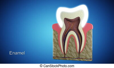 Tooth Section - 3d rendering of an anatomic tooth section...